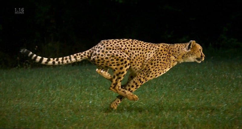 how fast can a cheetah run it interview guide