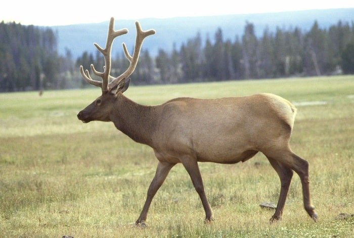 adult elk or wapiti